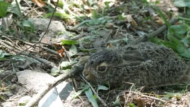 Wilde junge Hase sitzt auf der Wiese im Wald