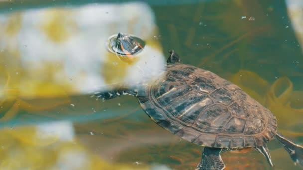 Teknős megragadt a fejét a vízből. A parkban található egy mesterséges tó teknős