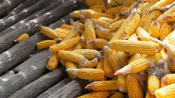 Žlutá kukuřice, která leží ve stodole. Sklizeň kukuřice. Zemědělská výroba