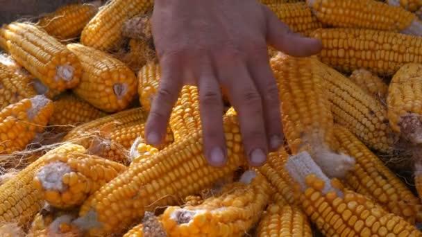 Mužské ruce dotknout hodně zralé žluté obilí ve stodole. Sklizeň kukuřice. Zemědělská výroba
