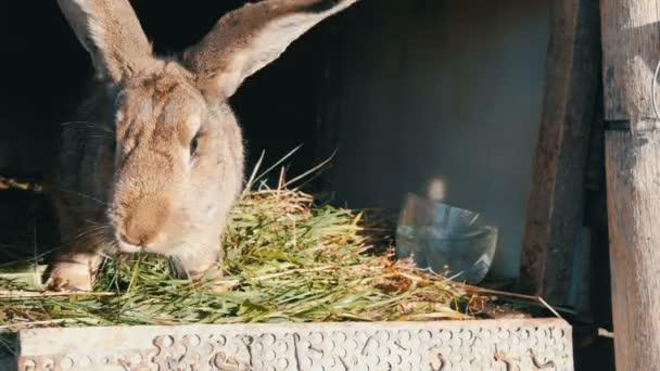 Lustige graue große Kaninchen Essen grünen Rasen in seinem Käfig