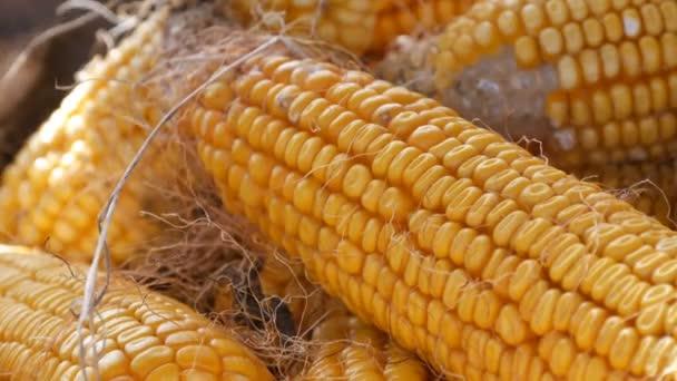 Mnoho hlav zralé žluté kukuřice ve stodole. Kukuřice po sklizni kukuřice. Zemědělská výroba