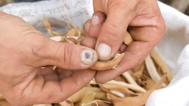 Mann Hände Bohnen schälen ungewöhnliche lila Farbe und ziehen Sie sie über einen Beutel voll trockener reifer Bohnen Nahaufnahme