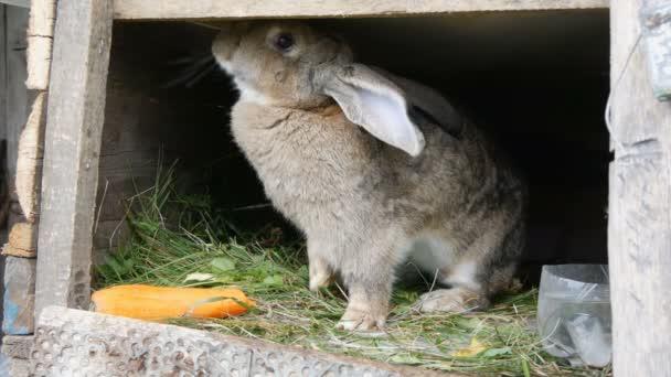 Lustige graue große Kaninchen sieht sich in einem offenen Käfig in der Nähe von großen Möhren um. Osterkonzept