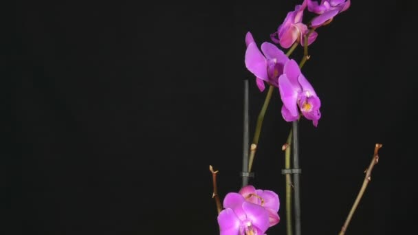 Beautiful blooming purple orchid flower on stylish black background