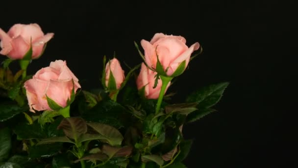 Beautiful delicate fresh blooming rosebuds in a flower pot sprayed with water drops on a black background.