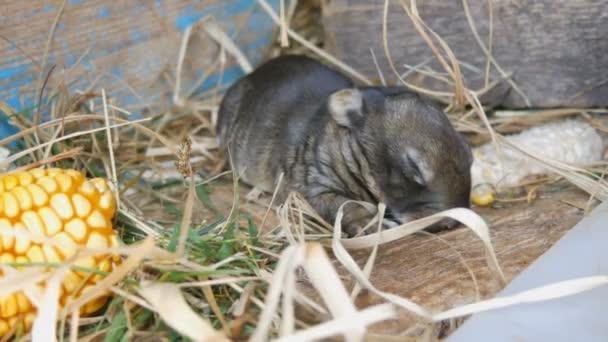 Small three day newborn blind rabbit walks in the sun in a cage