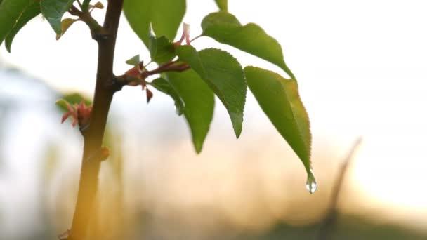 Festői jelenet egy fiatal zöld levél sárgabarack fa után az eső a beállítás nap. Esőcseppek víz a fióktelep tavasszal vagy nyáron közelről kilátás