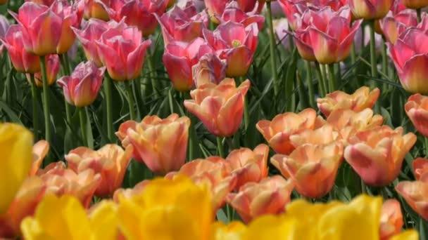 V jarní zahradě kvete malebná směs mnohobarevných tulipány. Dekorativní Tulipán kvete na jaře v královském parku Keukenhof. Nizozemsko, Holandsko