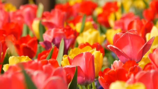 Picturesque beautiful colorful red and yellow tulips flowers bloom in spring garden. Decorative tulip flower blossom in springtime in royal park Keukenhof. Close view Netherlands, Holland