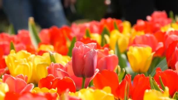 V jarní zahradě kvetou malebné barevné rudé a žluté tulipány květiny. Dekorativní Tulipán kvete ve jarní době v královském parku Keukenhof. Zavřít pohled Nizozemsko, Nizozemsko