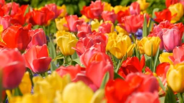 Festői szépségű színes piros és sárga tulipán virágok nyílnak tavasszal kertben. Dekoratív tulipánvirág virágzik tavasszal a királyi parkban Keukenhof. Zárási nézet Hollandia, Hollandia