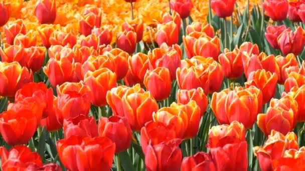 Gyönyörű keveréke élénk nagy narancs vörös tulipán a világhírű királyi Park Keukenhof. Tulipán mező közeli nézet Hollandia, Hollandia