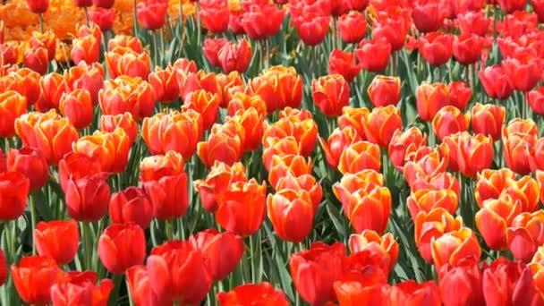 Krásná směs zářivě velkých oranžových červených tulipány ve světě proslulého královského parku Keukenhof. Pohled na pole Tulipán Nizozemsko, Holandsko