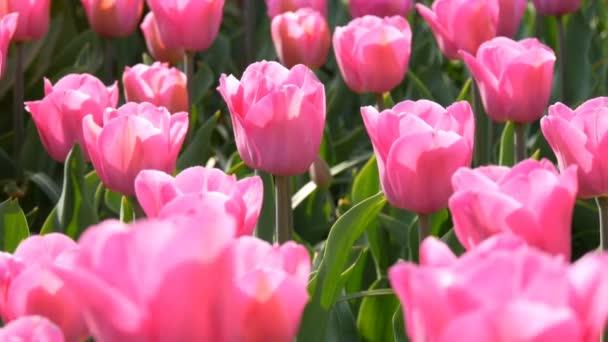 Gyönyörű keveréke élénk rózsaszín és fehér tulipánok a világhírű királyi Park Keukenhof. Tulipán mező közeli nézet Hollandia, Hollandia