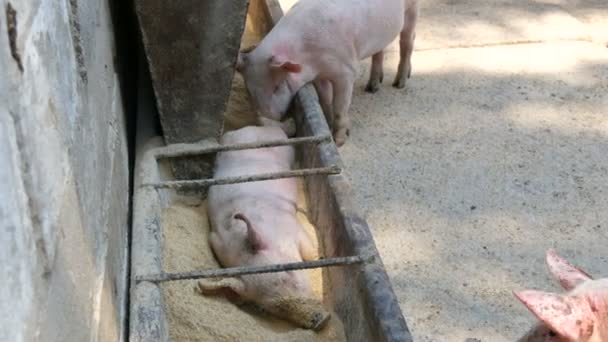 Funny piglet sleeping in a feeder with grain and feed on a pig farm, other piglets are walking nearby