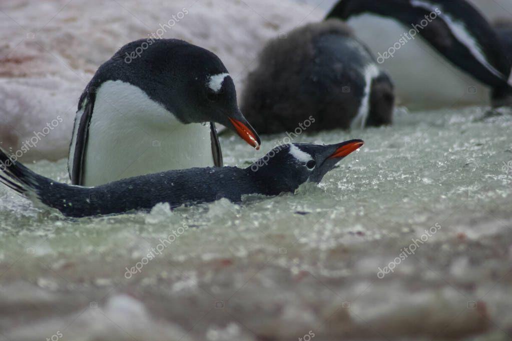 Penguins in Antarctica, waterfowl penguin in nature