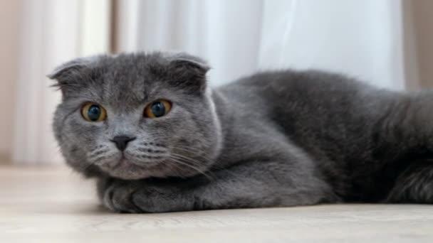 Britská Skotská fold kočka odpočívá a volný přístup k fotoaparátu, zblízka portrétní
