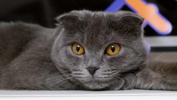 Šedá britských koček s žlutýma očima portrét, zblízka
