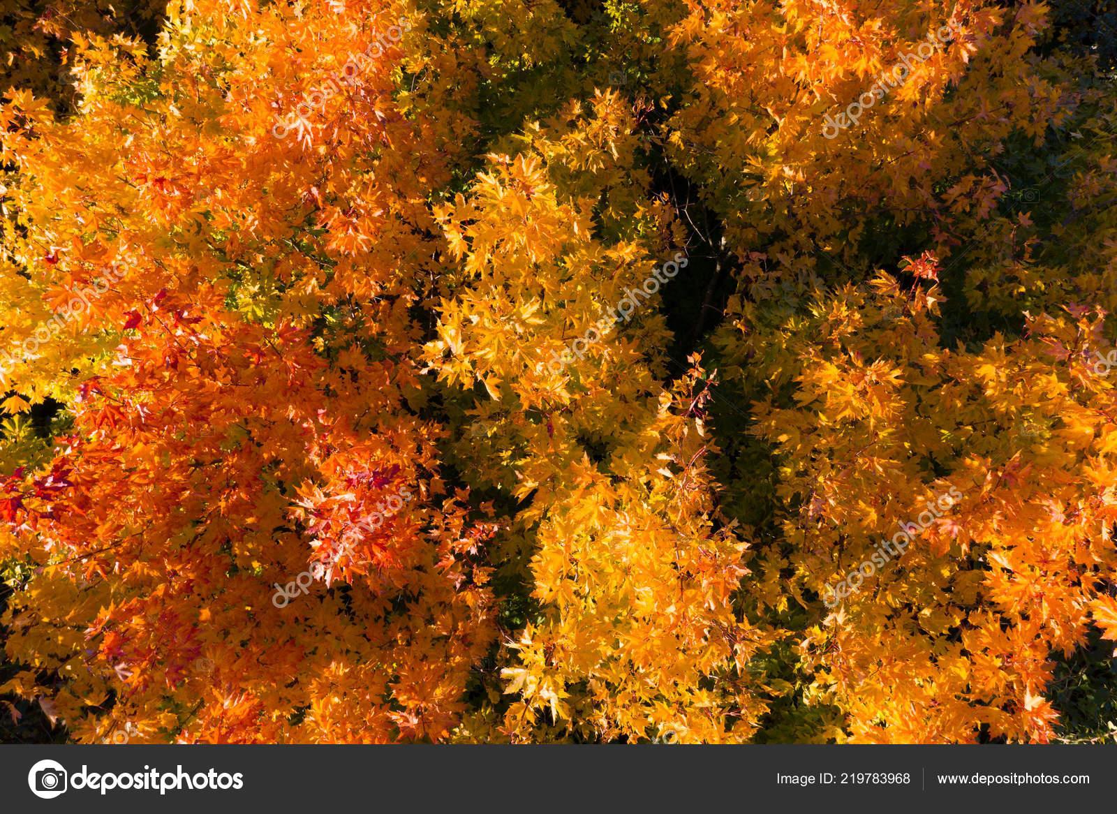 Fall Trees Desktop Wallpaper Autumn Tree Red Yellow Maple
