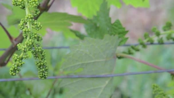 Mladá réva v vinice. Detail grapevine. Vinice na jaro. Vinice na šířku. Řádky vinic na jižní Moravě, Česká republika