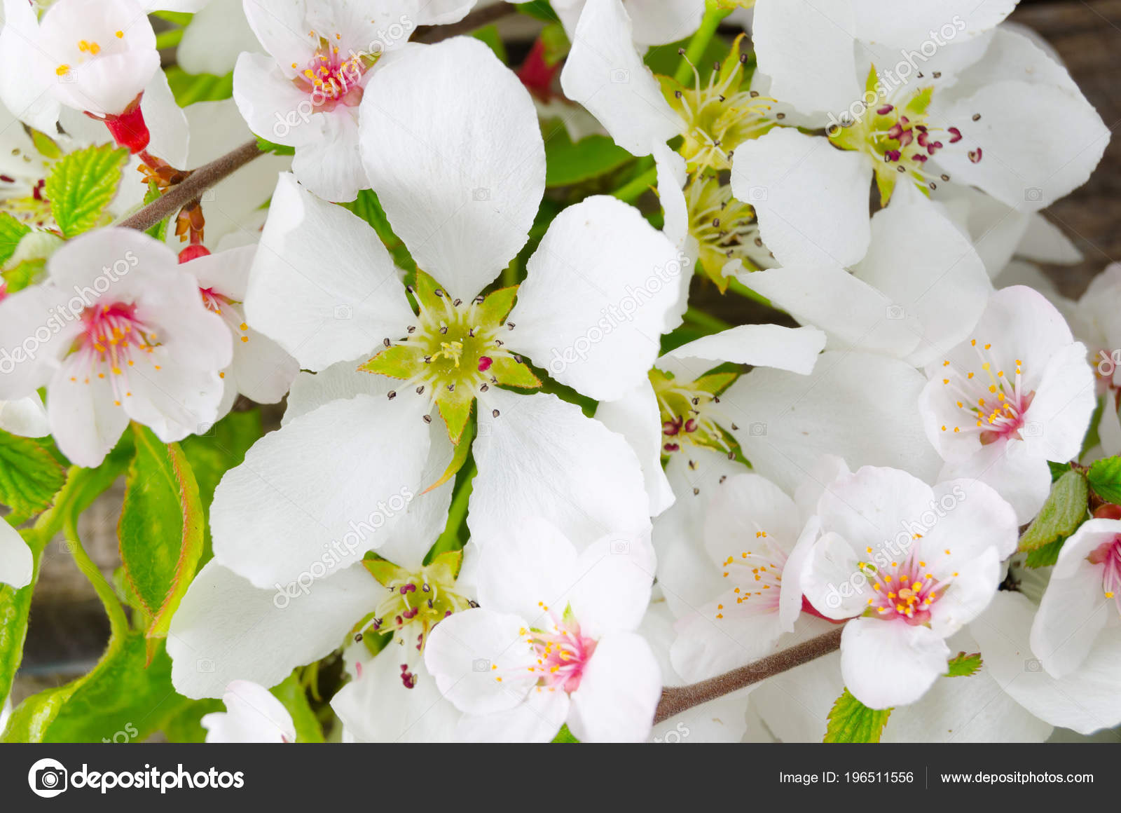 Apple Blossom Early Spring Beautiful White Flowers Close Stock