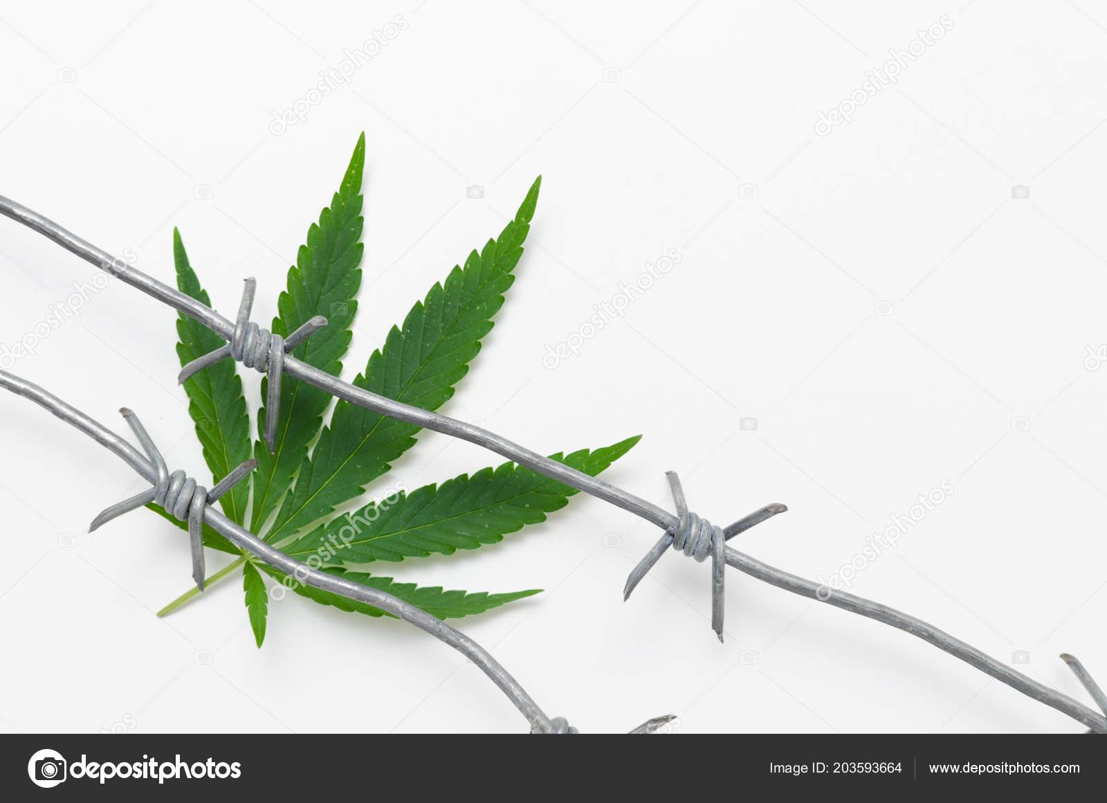 Hemp Barbed Wire White Background Prohibited Drug Legal Drug Smoking ...