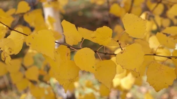 Podzimní bříza lesní větev se žlutými listy břízy
