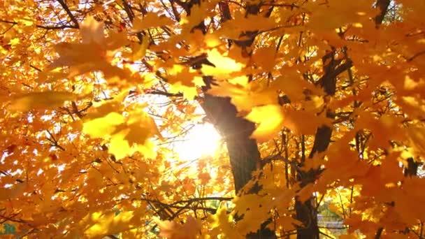 Žluté javorové listy na slunci za jasného slunečného podzimního dne.