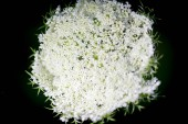 Close-up of Dill flower umbels in autumn white wild flower umbrella. close-up on a black background
