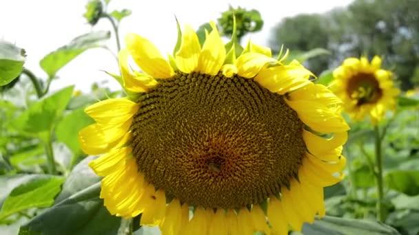 Slunečnice v poli, včela do květu
