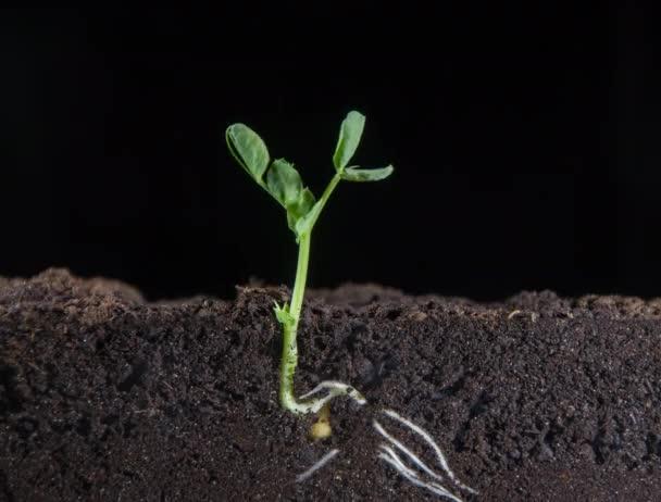 Aus kleinen Erbsen wachsen grüne Triebe von Pflanzen, sichtbare unterirdische Wurzeln von Pflanzen, neue Blätter, Zeitraffer