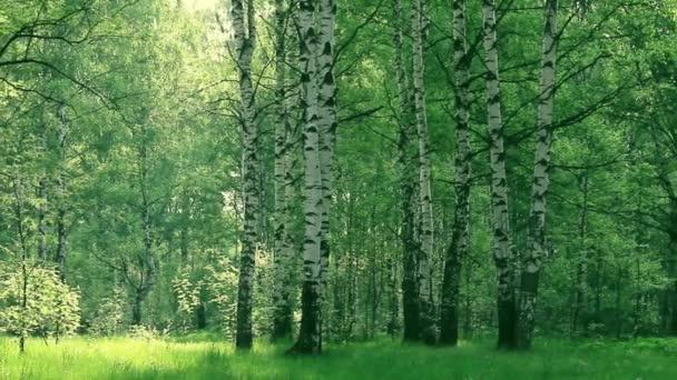 Nyír és juhar a nyári erdőben. nyári táj nyírfa liget