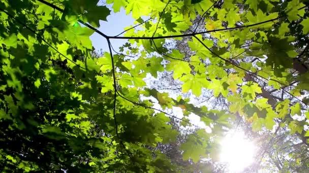 Zöld háttér juhar levelekkel. A nap sugarai ragyognak a levelek a fa.