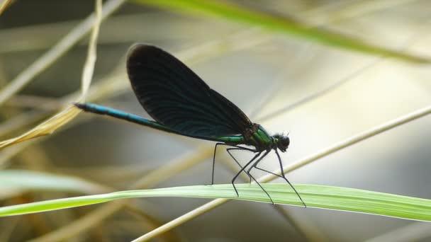 Libelle blaugrüne Farbe steht geduldig auf dem Gras, während sie im Wind schwingt.