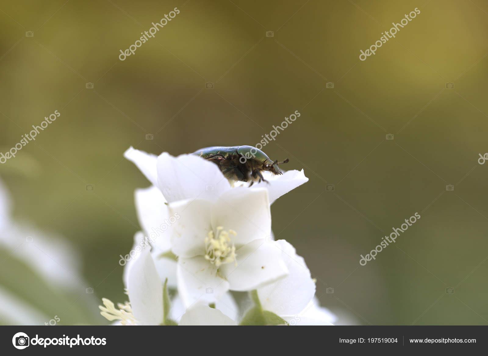 Chafer beetle jasmine flowers summer white garden jasmine bokeh chafer beetle jasmine flowers summer white garden jasmine bokeh white stock photo izmirmasajfo
