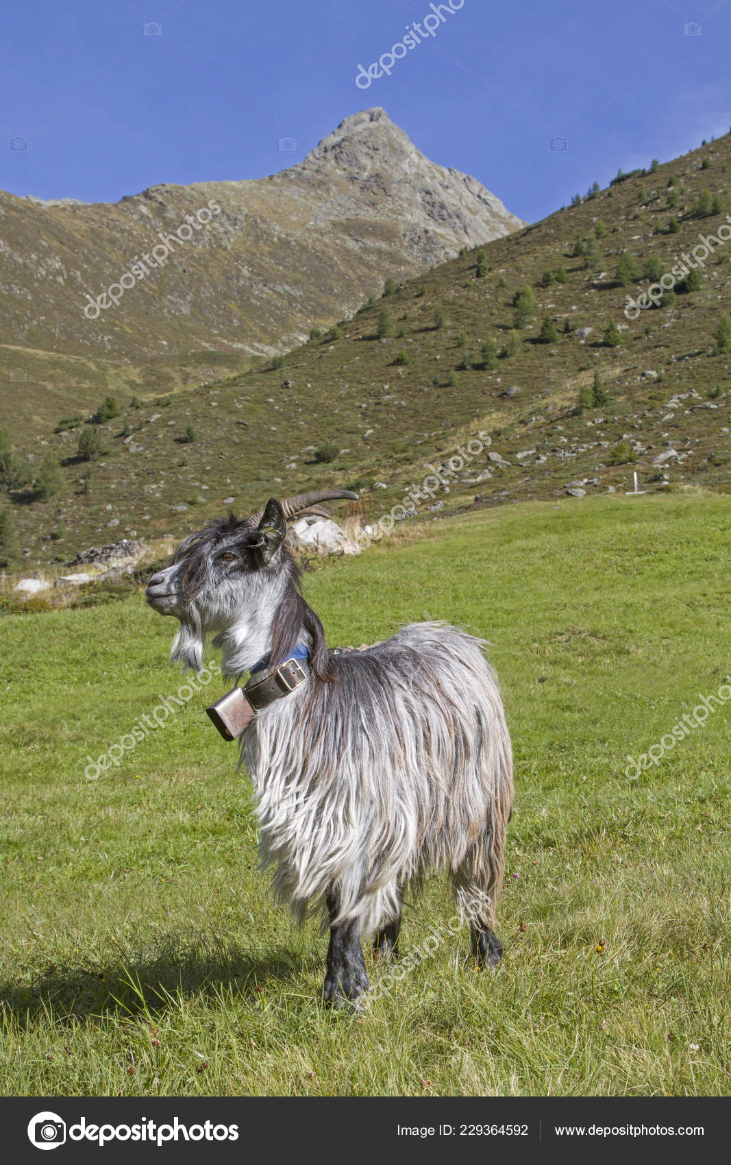 vacances au tyrol Vacances du0027été pour les chèvres dans la vallée de Zwieselbach au Tyrol, où  ils passent lu0027été u2014 Image de Tinieder