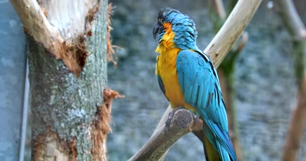 Blue And Yellow Macaw (Ara Ararauna). Parrot Flying Away From The Branch Of A Tree. Closeup Detail - DCi 4K Resolution