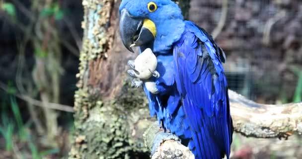Krásné modré hyacintový papoušek (Anodorhynchus Hyacinthinus) hraje s kamenem. Detailní záběr na výšku - Dci 4k rozlišení