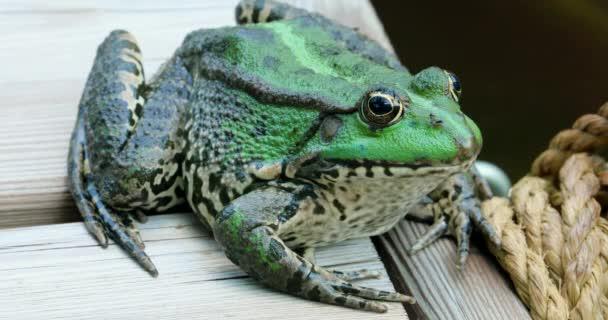 Perez barátait béka. Közelről portré egy szép Ibériai zöld béka, béka, más néven Ibériai víz vagy a Coruna Frog (Pelophylax Perezi) - Dci 4k felbontás