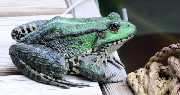 Perez-Frosch. Nahaufnahme Porträt eines schönen iberischen Grünfroschs, auch bekannt als iberischer Wasserfrosch oder Korunafrosch (pelophylax perezi) - dci 4k resolution