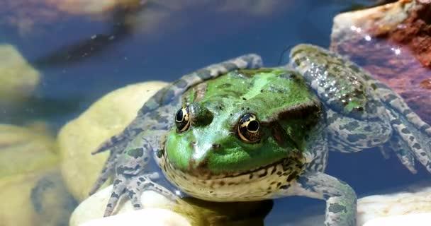 Grüner Frosch im Wasser. Close Up Portrait des iberischen grünen Frosch, auch bekannt als iberischen Wasser Frosch oder Coruna Frosch (außer Perezi) - Dci 4k Auflösung