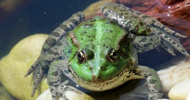 Zöld béka a vízben. Közelről portréja Ibériai zöld béka, a béka, más néven Ibériai víz vagy a Coruna Frog (Pelophylax Perezi) - Dci 4k felbontás