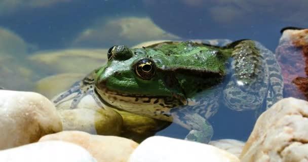 Zelená žába do vody - zobrazení profilu. Zblízka portrétní iberských zelená žába, také známý jako iberské vody žába nebo Coruna Frog (Pelophylax Perezi) - Dci 4k rozlišení