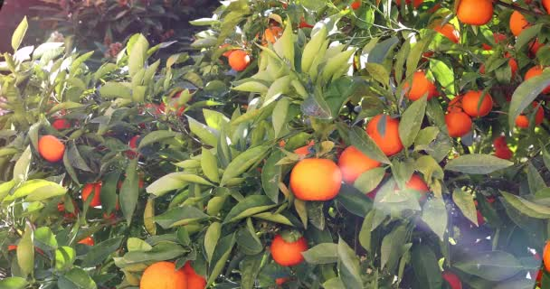 Mandarin Orange Tree With Ripe Fruits, Branch With Fresh Ripe Tangerines And Leaves, Close Up View  - DCi 4K Video