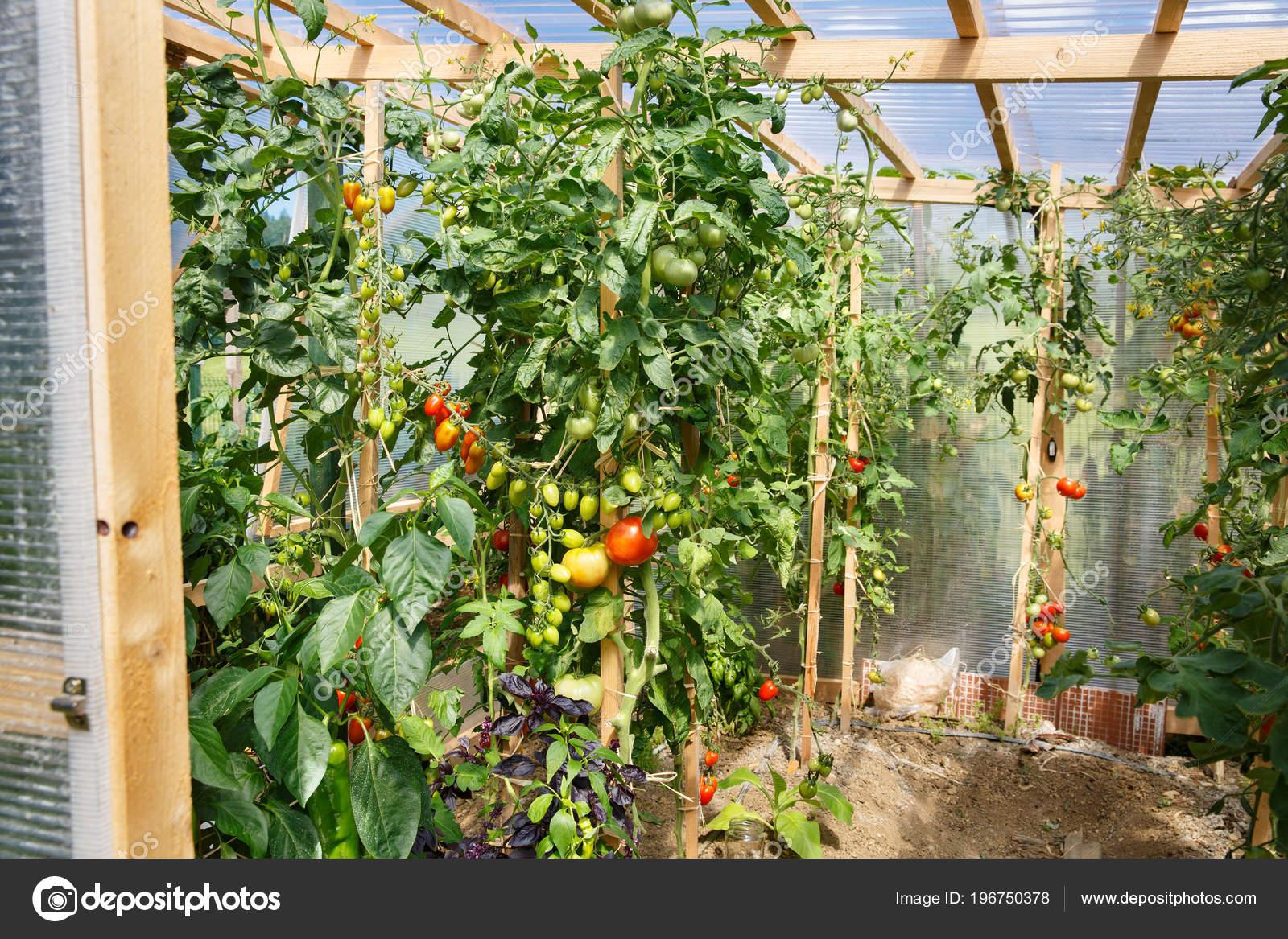 Frische Tomaten Gewachshaus Reifen Landwirtschaft Lebensmittel