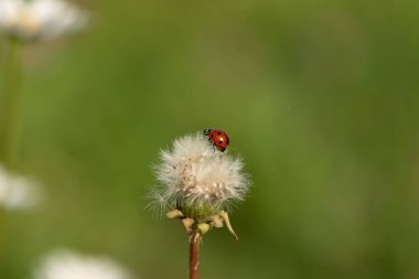 Ladybird on blowing dandelion flower