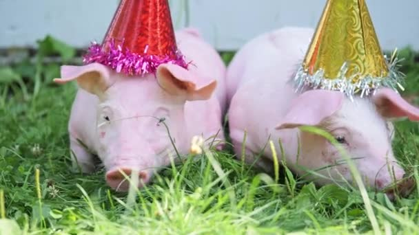 A two cute young pigs with christmas cap on a green grass.