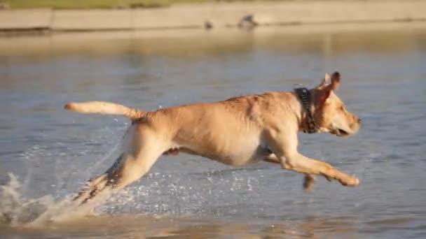 Roztomilý pejsek hraje běh z břehu do vody. Mokrý pes.