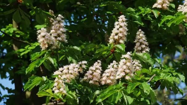 Koruna stromu kvetoucí kaštan na slunečný den s květiny a zelené listy.